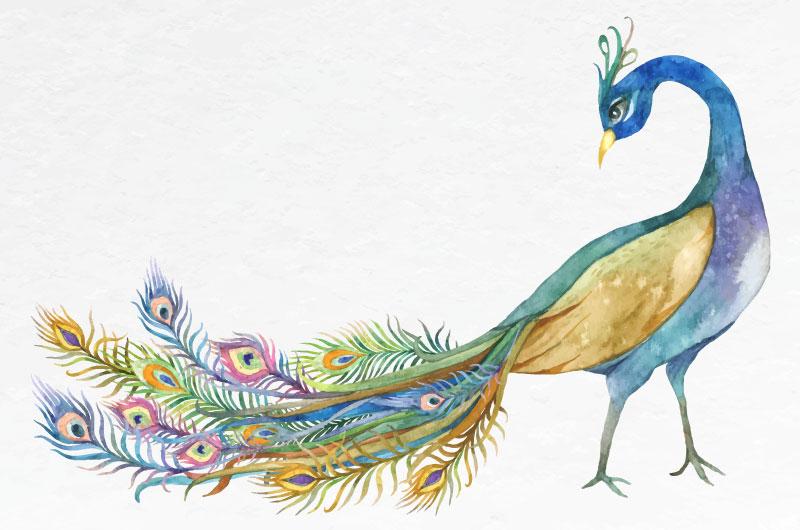 水彩绘画的美丽孔雀矢量素材(EPS/免扣PNG)