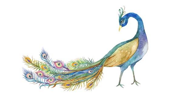 水彩绘画的美丽孔雀矢量素材(EPS/PNG)